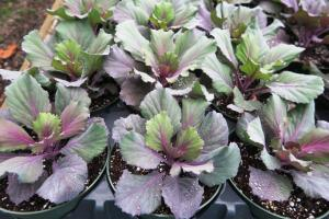 ornamental-cabbage-nov-16