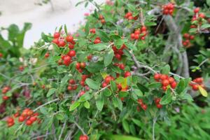 yaupon-holly-chandor-garden-16-26