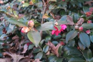 camellia-dec-27-16-1