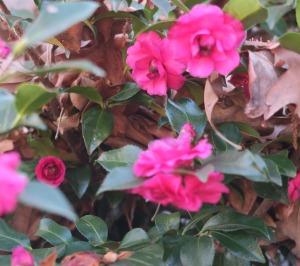 camellia-dec-27-16-2