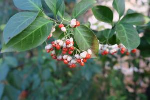 euonymus-berries-dec-16