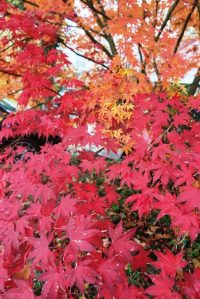 jap-maple-16-1