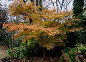jap-maple-dec7-2