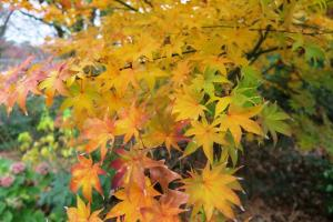 jap-maple-dec7-5