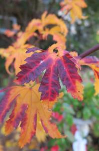 japanese-maple-dec-16-1