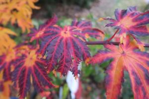 japanese-maple-dec-16-2