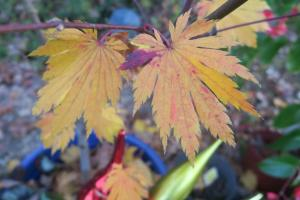 japanese-maple-dec-16-3