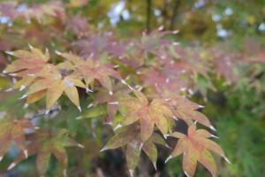 japanese-maple-dec-16-4