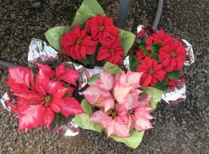 poinsettias-at-dec-16-2