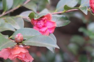 camellia-jan10-1