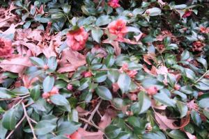 camellia-jan10-2
