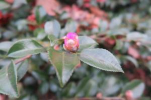 camellia-jan10-4
