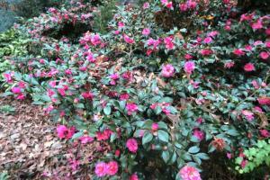 camellia-jan7-17