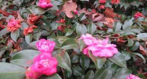camellia-sasanqua-jan15-2