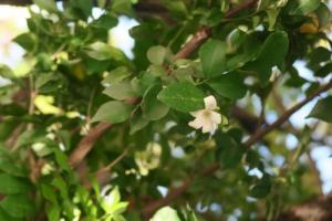 murraya-flower