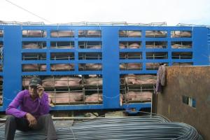 pigs-in-truck