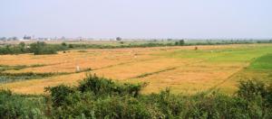 rice-field-cambodia