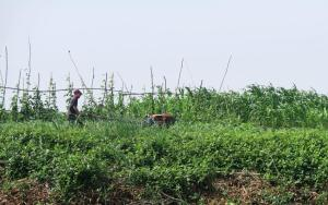 tilling-cambodia