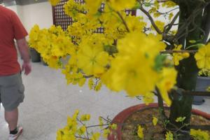 yellow-aspricot-flower-vietnam2