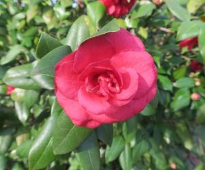 camellias-garvan-feb8-1