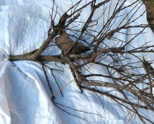 crape-myrtle-bark-scale-disposing-feb17-5