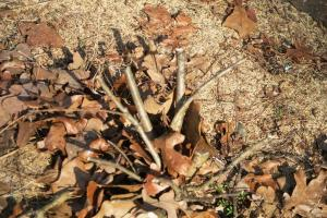 crape-myrtle-bark-scale-disposing-feb17-6