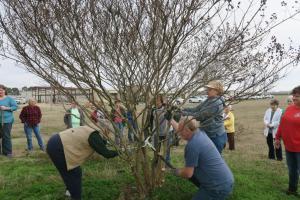 crape-myrtle-pruning-dewitt-11