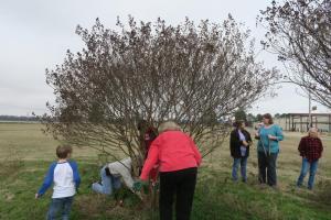 crape-myrtle-pruning-dewitt-12