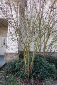 crape-myrtle-pruning-dewitt-16