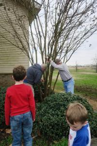 crape-myrtle-pruning-dewitt-20