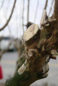 crape-myrtle-pruning-dewitt-7