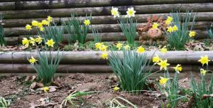 daffodils-feb17-2