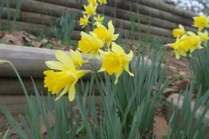 daffodils-feb17-3