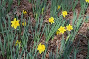 daffodils-garvan-feb8-3