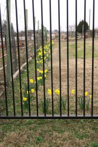 daffodils-learning-fields-feb-17-11