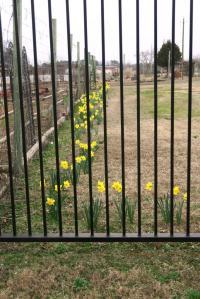 daffodils-learning-fields-feb-17-11