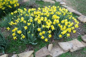 daffodils-learning-fields-feb-17-9