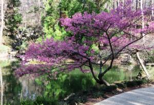 flowering-cherry-feb8-2