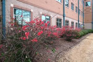 flowering-quince-feb6-2