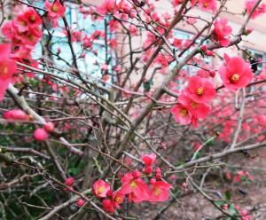 flowering-quince-feb6-4