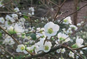 flowering-quince-garvan-feb8-10