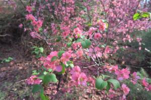 flowering-quince-garvan-feb8-2