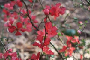 flowering-quince-garvan-feb8-5