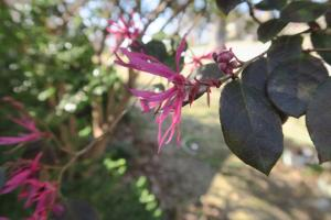 loropetalum-feb13-172