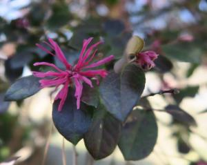 loropetalum-feb13-173