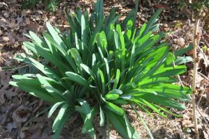 lycoris-foliage-feb-13-17