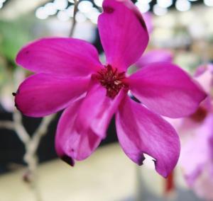 magnolia-soulangiana-afgs-sat-17-36