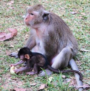monkeys-angor-thom01