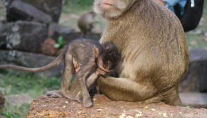 monkeys-angor-thom10