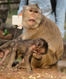 monkeys-angor-thom11